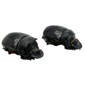 Large Dung Beetle (Heliocopris bucephalus) Insect Collector Specimen Art (PAIR)