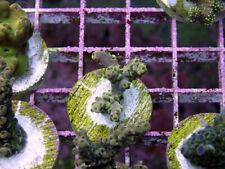 New listing Kings Vision Selago Acropora -Wysiwyg Live Coral Frag- Coral Savers