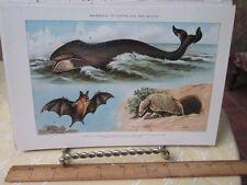 Vintage Print,Mammals,New International Encyclopedia,1909