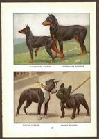 Bulldog Terriers Doberman Dog Print by Fuertes 1919