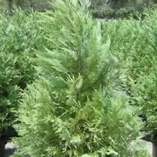 Leyland Cypress, TEN one-gallon evergreen plant, FREE shipping, 16-24""