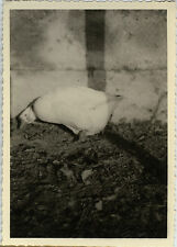 PHOTO ANCIENNE - VINTAGE SNAPSHOT - CANARD CANE BASSE COUR DRÔLE - DUCK FUNNY