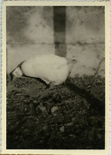 PHOTO ANCIENNE - VINTAGE SNAPSHOT - CANARD CANE BASSE COUR DRÔLE - DUCK FUNNY
