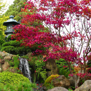 Acer palmatum 'Atropurpureum' (Purple Japanese Maple) 10 Tree Seeds | Bonsai UK