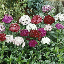 500 Sweet William Seeds Mix Flower Seeds
