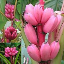 Natural 20pcs/Bag Musa Velutina Pink Banana Seeds Rare Fruit Seeds Outdoor