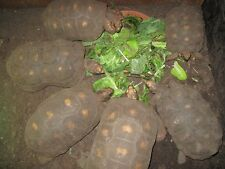 SW Tropical Tortoise mix 1500-2000 seeds, ORGANIC Red foots Yellow foot FOOD