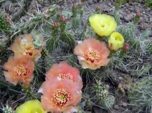 Opuntia erinacea v.columbiana,frost-resistant cactus, /price per segment/