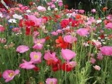 Poppy- Shirley Mix- 1000 Seeds