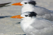 REGAL ROYAL TERNS FINE ART GREETING CARD