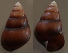 Canistrum romblonensis, 46.5 mm, F+++/GEM
