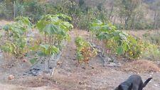 Paulownia 9501 HYBRID, 2 gr. seeds,zaden,samen,semi,sementes,semillas, graines