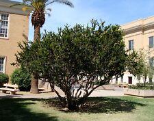 Myrtle - MYRTUS COMMUNIS - 20 Seeds Trees