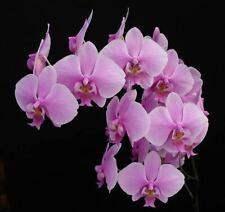 Fragant Phalaenopsis schilleriana 3 shoots 4 x 9 cm Y.P.