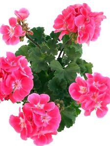 Geranie pink-rot - Stilvolle Pflanzen für Balkon und Garten