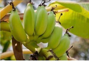 Seltene Mini Banane - Bananenbaum - Bonsai geeignet- Samen - Mehrjährig