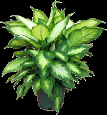 DUMB CANE - 2 live PLANTS - house Houseplant office - GroCo Plant USA
