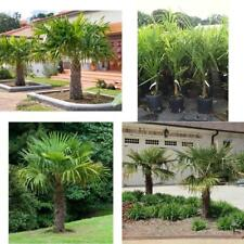 Windmill Palm Tree Tropical Live Hardy Plant Yard Outdoor Garden 1 Gallon NEW