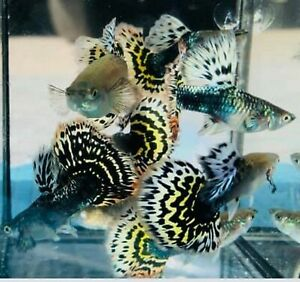 <HAVE VIDEO>GUPPY FISH TIGER 1 PAIR (MALE+FEMALE)