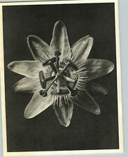 1942 Original BOTANICAL PLANT Passion Flowers Photo Art KARL BLOSSFELDT