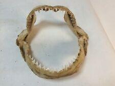 mâchoire de requin cabinet de curiosité(0.81b)