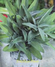 Echter Salbei 30 Samen *Salvia officinalis *Mehrjährig *Edelsalbei *Kräutersamen
