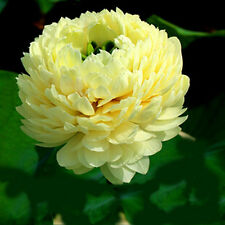 Bonsai Lotus/water lily flower/Bowl-Pond Lotus/5 Fresh seeds/Light Golden Lotus