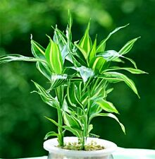 40 Seeds Rare Silver Heart Lucky Bamboo Seeds Absorb Dust for Planting
