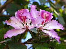 *12 fresh Seeds*Bauhinia Monandra*Pink Orchid Tree*