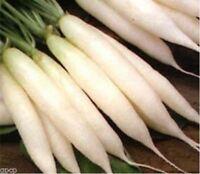 Radish- White Icicle- 200 Seeds -
