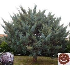 New listing Arizona cypress - beautiful ornamental tree - 200 seeds