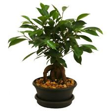 Ficus Bonsai Tree Japanese Indoor Plant 6 in. Plastic Pot Beautiful Destop Plant