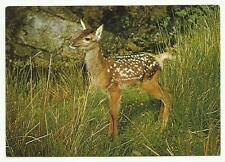 Young Red Deer postcard