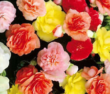 BEGONIA TUBEROUS DOUBLE MIXED COLORS Begonia Tuberosa - 200 Bulk Seeds