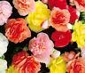 BEGONIA TUBEROUS DOUBLE MIXED COLORS Begonia Tuberosa - 200 Bulk Seeds