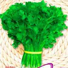 FD2481 Chinese Coriander Seed Vegetables Seeds ~1 Pack 150 Seeds~♫