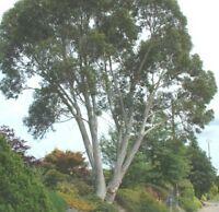 schöner nützlicher Busch im Garten: SCHNEE-EUKALYPTUS
