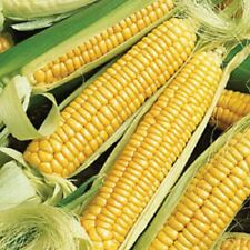 Heirloom GOLDEN BANTAM Corn Sweet Yellow❋100 SEEDS (1 oz)❋Old Time Favorite