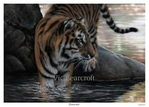 'Distracted'. Limited Edition Tiger Print by Vic Bearcroft