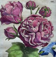 G. B. Ferrari (1584 - 1655) Quarto engraving hand colour - CHINESE ROSE - 1638