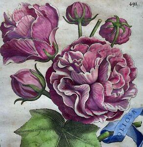 G. B. Ferrari (1584 - 1655) Quarto engraving hand colour - CHINESE ROSE - 1638
