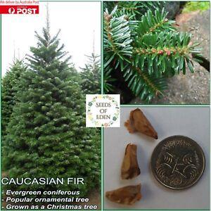 5 CAUCASIAN FIR SEEDS (Abies nordmanniana); Popular Christmas tree