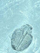 More details for real fossil trilobite elrathia kingi              prehistoric taxidermy  #ccc097