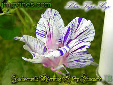 Blue Tiger Hige Ipomoea Purpurea Morning Glory 6 Seeds