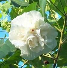 Hibiscus mutabilis Double | Confederate Cotton Rose | 20_Seeds