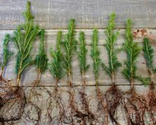 2 Live Loblolly Pine Tree Seedlings -Very fast growing evergreen tree