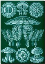 "ERNST HAECKEL CANVAS PRINT Art Nouveau Jelly Fish Sea 36""X 24"" Discomedusae B"