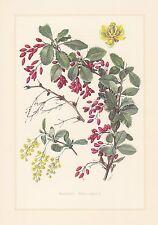 Sauerdorn - Berberis vulgaris Berberitze Dreidorn Farbdruck von 1960