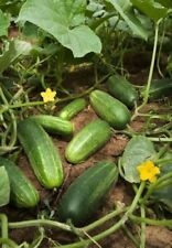 60 National Pickling Cucumber Seeds- Open Pollinated- NON-GMO-Organic
