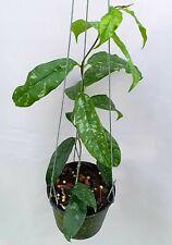Hoya mappingera yellow splash [B29J1],1 pot rooted plant10-12 inchesUnique!